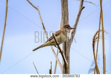 Great Reed Warbler On A Reed Grass. Cute Little Brown Loud Stealthy Songbird. Bird In Wildlife