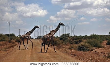 Kenya. Two Graceful Giraffes Slowly Cross The Road. Giraffes Have Beautiful Skin Color. On The Sidel