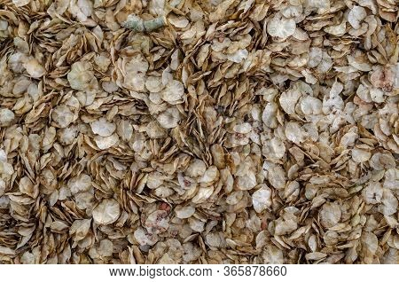 Fallen Flowers Rough Elm Or Ulmus Glabra Background. Brown Petals Of Fallen Spring Flowers On The Gr