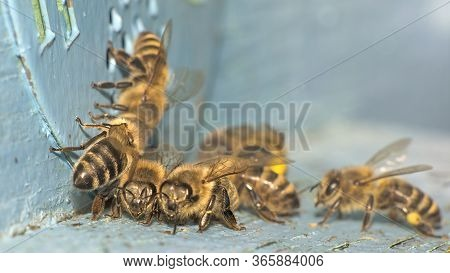 Detailed View Of Working Bees In A Bee Hive. Blurred Background. Close Up Of Flying Bees Flying Back