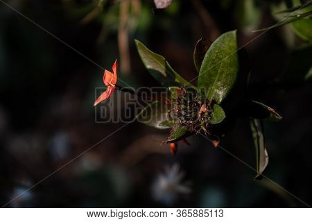 Red And Yellow Ixora Flower With Drak Graden Background