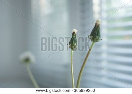 Two Closed Dandelion Flowers In A Small Vase On The Windowsill, Jalousie In Blurred Background