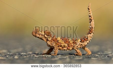 Thorny Devil In Watarrka National Park, Northern Territory