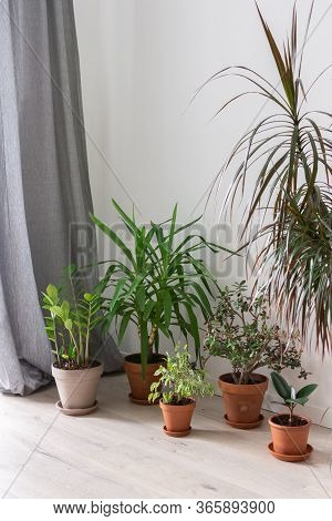 Beautiful Green Indoor Yucca Aloifolia And Ficus Benjamina Kinky Flower, Ficus With Zamioculcas And