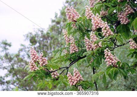 Flowering Chestnut Tree In The Park. Chestnut Flowers Background