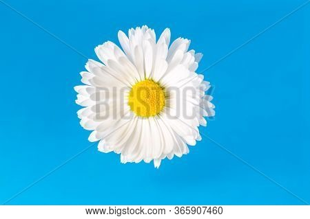 Macro View Of Chamomile Blossom With White Petals And Yellow Pistils On Soft Blue Background With Co