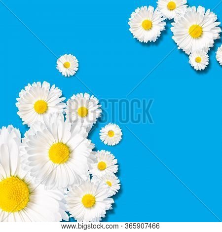 Composition Of Various Chamomile Blossom With White Petals And Yellow Pistils On Soft Blue Backgroun
