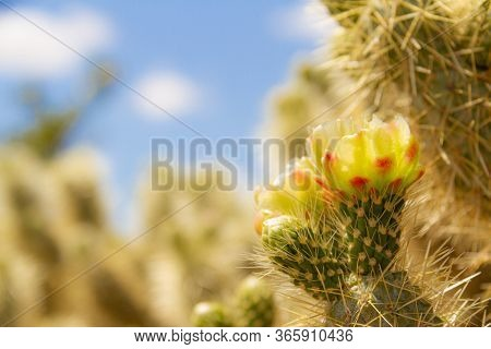 Side Lite View Of The Flower Of The Cholla Cactus (cylindropuntia Bigelovii) In The Sonoran Desert O