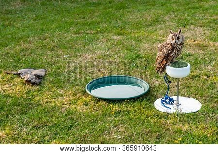 Eurasian Eagle-owl (bubo Bubo) Sitting On A Plastic Grass Perch Next To The Bowl With Watter And Lea