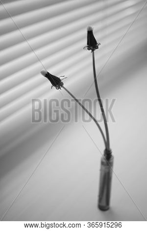 Two Closed Dandelion Flowers In A Thin Vase On The Windowsill. Bw Photo.