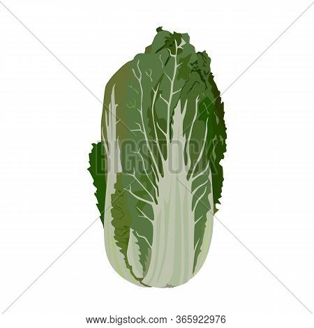 Chinese Napa Cabbage, Vector Illustration Isolated On White Background. Peking Cabbage Healthy Organ