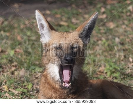 Red Maned Wolf In The Captive Animal Portrait