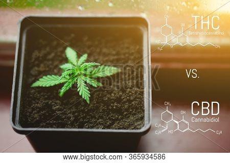 Cbd Cannabidiol - Thc Tetrahydrocannabinol Cannabis Chemical Formula. Structural Model Of Cannabidio