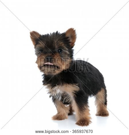 adorable yorkshire terrier panting and sticking out tongue, walking isolated on white background