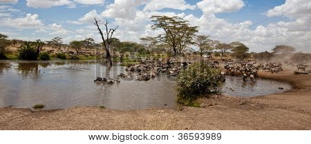 A herd of Zebras and Wildebeest gather at a watering hole. Serengeti National Park, Tanzania. poster