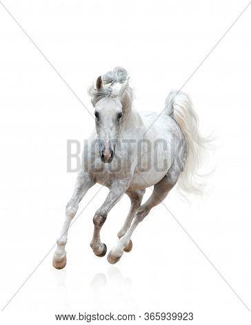 Beautiful Snow-white Arabian Stallion Galloping Over A White Background. White Arabian Horse Running
