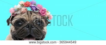 cute happy Pug dog wearing a headband with flowers and eyeglasses and panting on blue background