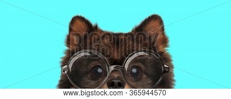 adorable shy Pomeranian Spitz dog hiding his face from camera, wearing eyeglasses on blue background