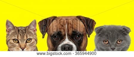 3 animals team consisting of a metis cat, Boxer dog and Scottish Fold cat are side by side standing and looking at camera on yellow background