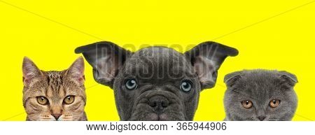 3 domestic animals couple consisting of a metis cat, American Bully dog and Scottish Fold cat are standing side by side and looking at camera on yellow background