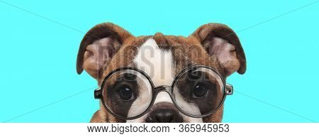 funny young English Bulldog dog bowing his head, wearing eyeglasses on blue background