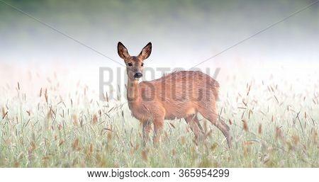 Surprised Roe Deer Doe Staring On Meadow In Foggy Spring Nature.