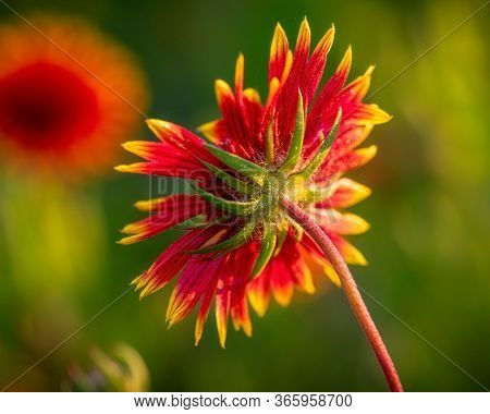 Back Side View Of A Colorful Native Texas Widlflower In Bloom