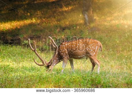 Beautiful male chital or spotted deer grazing in grass in Ranthambore National Park, Rajasthan, India