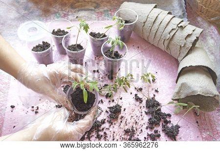 Transplanting Tomato Seedlings . Female Hands Transplant Young Seedlings Of Tomatoes For Growing In