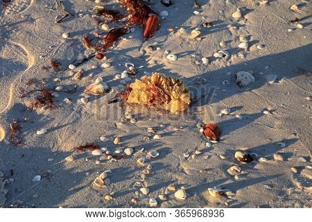 Tulip Shell Egg Case Also Called The Horse Conch Egg Casing Triplofusus Papillosus Washed Ashore On