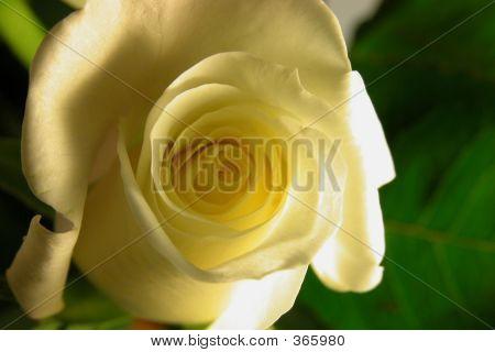 White Rose On Green