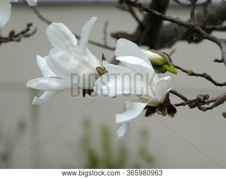 White Flowers Of The Blooming Magnolia Tree