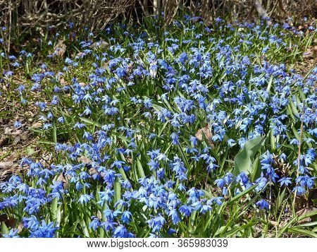 Many Blue Flowers Forget Me Not On The Flower Bed As A Floral Background