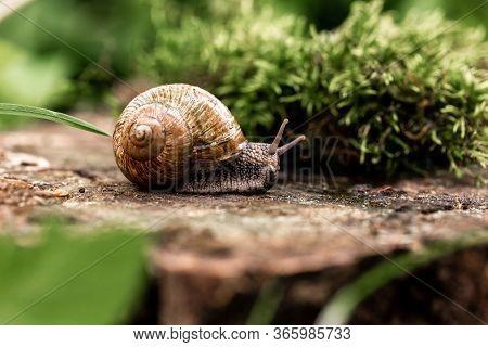 Snail Closeup. Burgundy Snail Helix, Roman Snail, Edible Snail, Escargot On A Surface With Moss. Hel