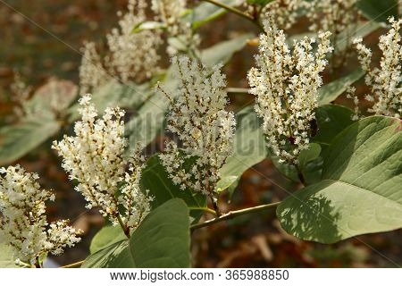 Floral Background. Beautiful White Inflorescences Of Polygonum Weyrichii. A Sunbeam Falls On White F