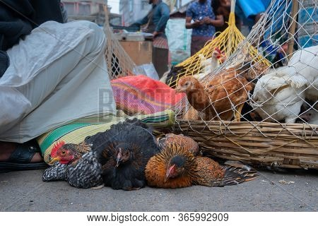 Roosters, Adult Male Chickens (gallus Gallus Domesticus) Put In Cage, Placed On Road And Are Being O