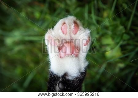 Closeup of a rescued cat's declawed paw on a grass background, shallow focus