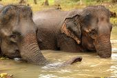 asian elephant bathing in muddy water, Laos poster