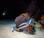 Underwater  DSLR photo - Small Octopus Sitting On Coral During Night Dive, Cuba poster