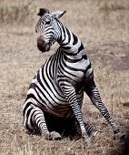 A zebra struggles to give birth during the Great Migration. Serengeti National Park, Tanzania. poster