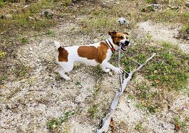 Jack Russell Terrier Playing With A Stick Of Wood Out In The Wild