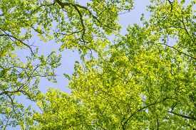 Beech Trees With Vibrant Green Leaves In The Spring With Branches Reaching For The Sky