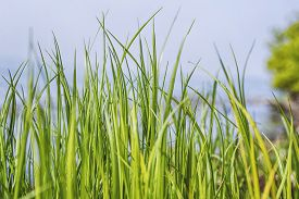 Tall Green Grass Straws In The Spring In Vibrant Colors