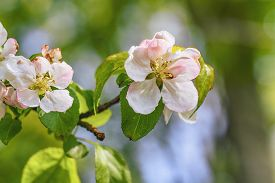 White Apple Tree Flowers On A Branch In The Spring With Green Bokeh Background