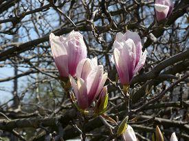 Three Pink Flowers Of Blooming Magnolia Tree