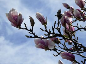 The Branch With Pink Flowers Of Blooming Magnolia Tree