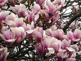 Pink Flowers Of Blooming Magnolia Tree As A Floral Background