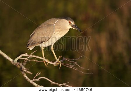 Black-crowned Night-Heron (Nycticorax) in the Florida Everglades poster