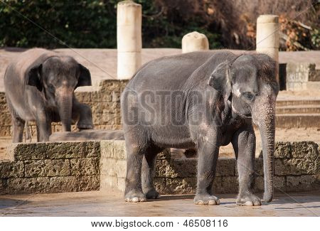 Asiatic elephants: Animal life in Asia. Elephas maximus poster