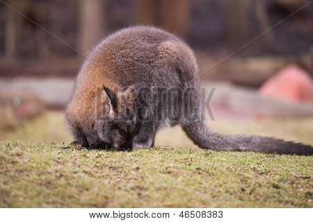Marsupials: Wallaby Feeding On The Grass